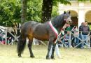 """Cavalli Bardigiani di tutta Italia  sono tornati a """"casa"""" per """"mettersi in mostra."""""""