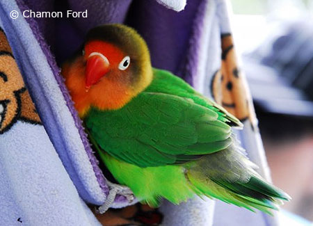 parrotfeather com fischer s