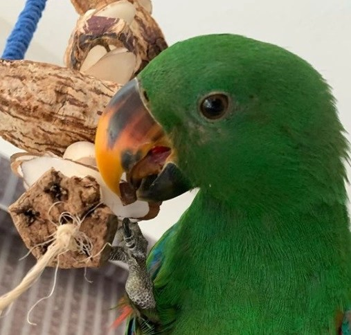 the best parrot toys for eclectus