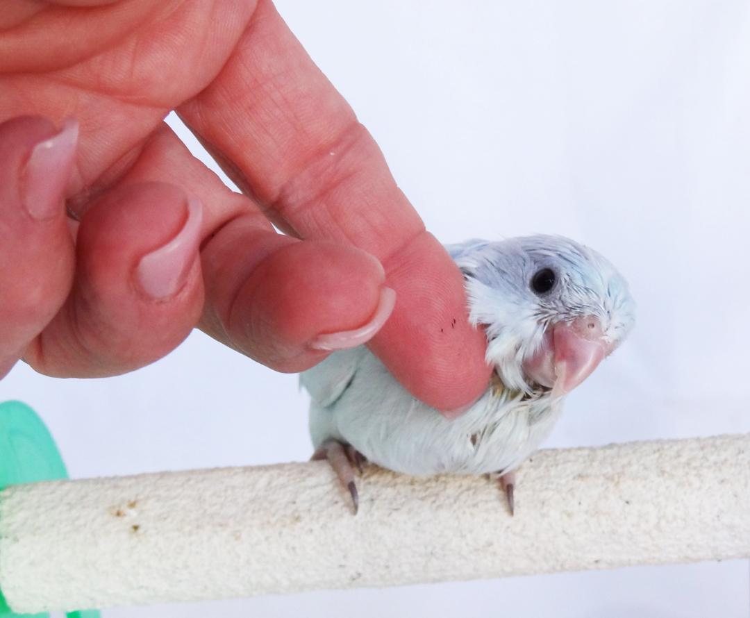 baby parrotlets parrotlet babies