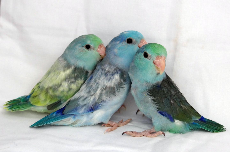 turquoise parrotlet parrotlet babies