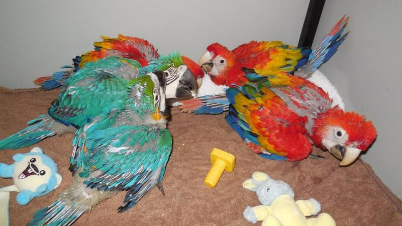 Timneh African Grey For Sale Texas