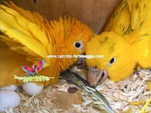 Parakeet Eggs