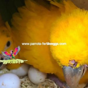 golden conure eggs1