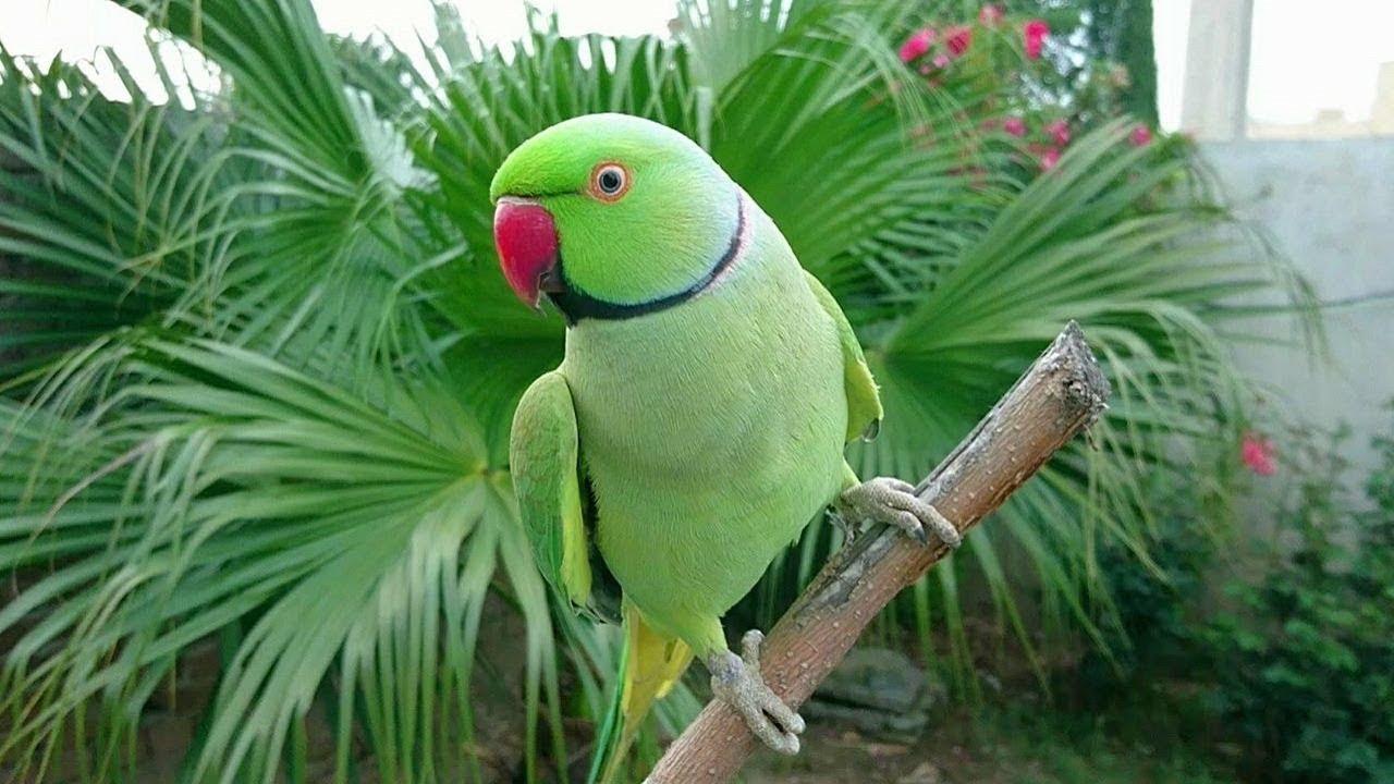 maxresdefault parrots fertile eggs
