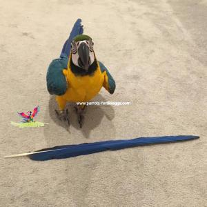 Blue and gold macaw breeder and supplier