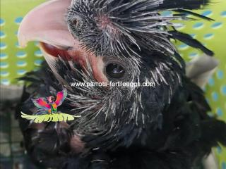 baby black palm cockatoo for sale online