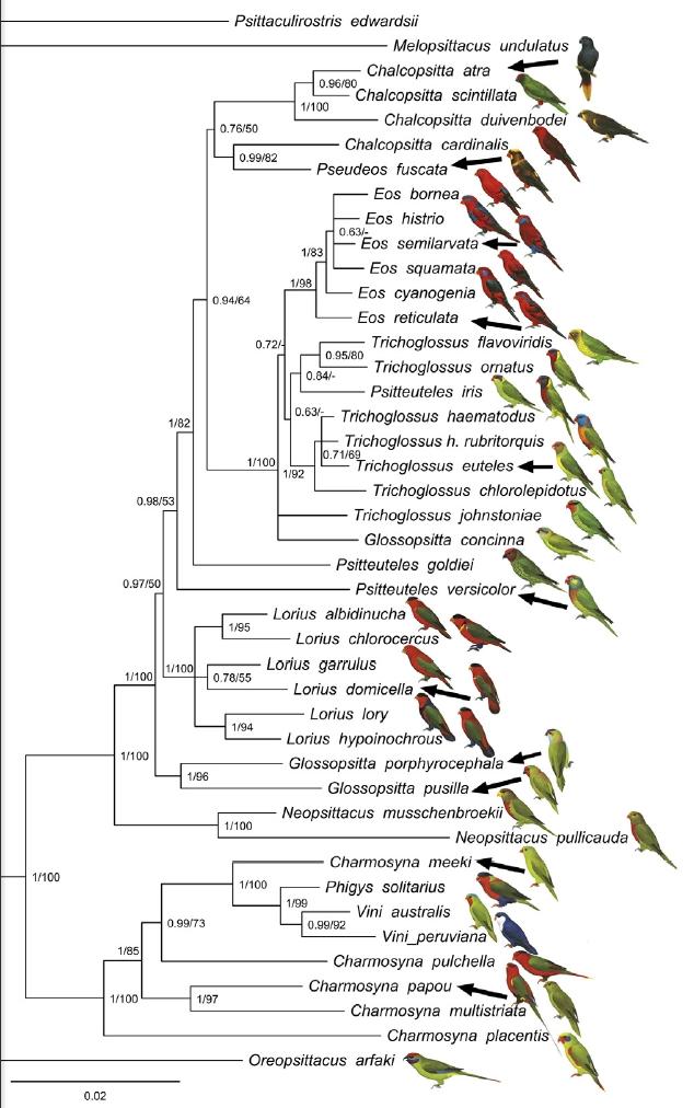 ローリーロリキート系統分類図