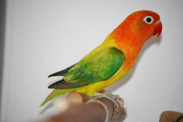 fischer s lovebird agapornis