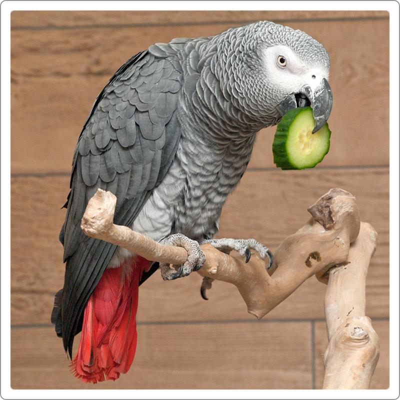 Congo African grey parrot eating cucumber