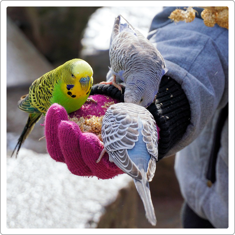 Three budgerigar parrots two blue one green eating food on the hand with red gloves