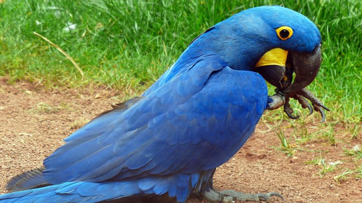 Hyacinth macaw Biggest parrot of all - Parrots Joy