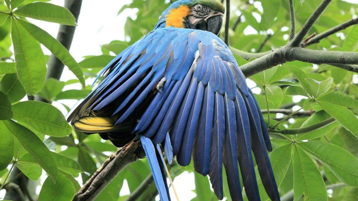 Golden blue macaw parrot showing its blue wings