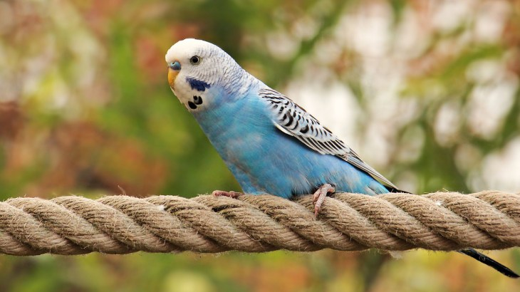 Budgie parrot light blue color sitting on rope