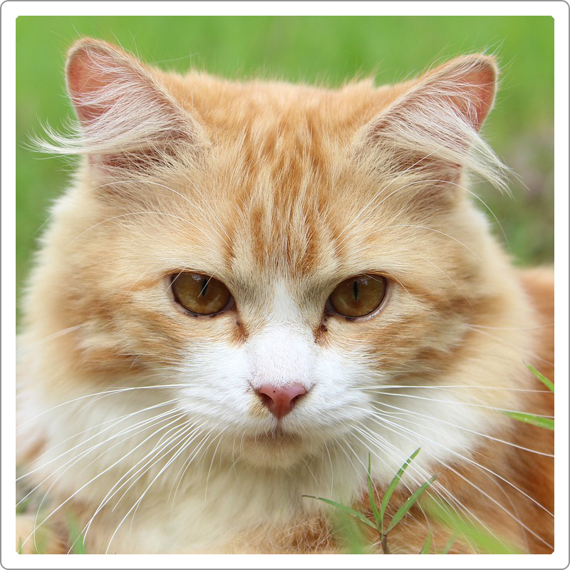 Beautiful and cute looking golden domestic cat