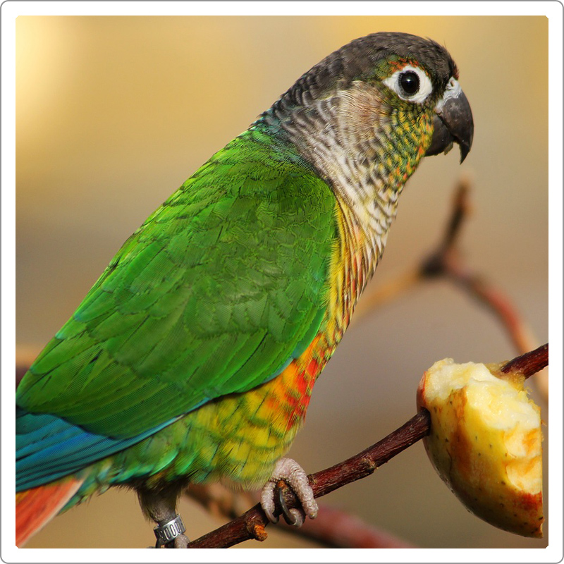 Green parrot eating apple on a stick