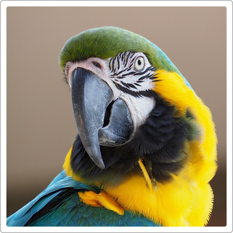 Golden blue macaw close up picture