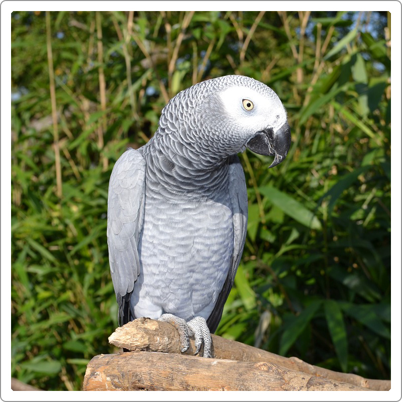 African grey parrot siting in sunshine