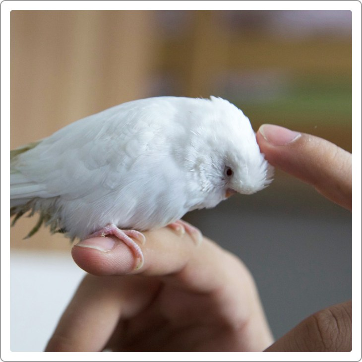 White budgie parrot siting on the hand of girls and she is cuddling the parrot