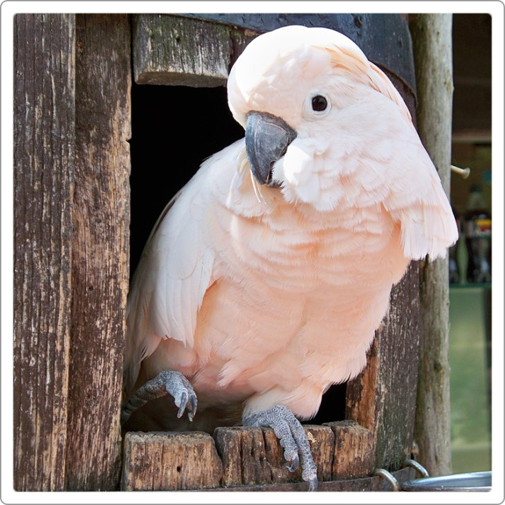 Moluccan cockatoo sitting in wood cage