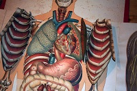 corpo-umano-organi
