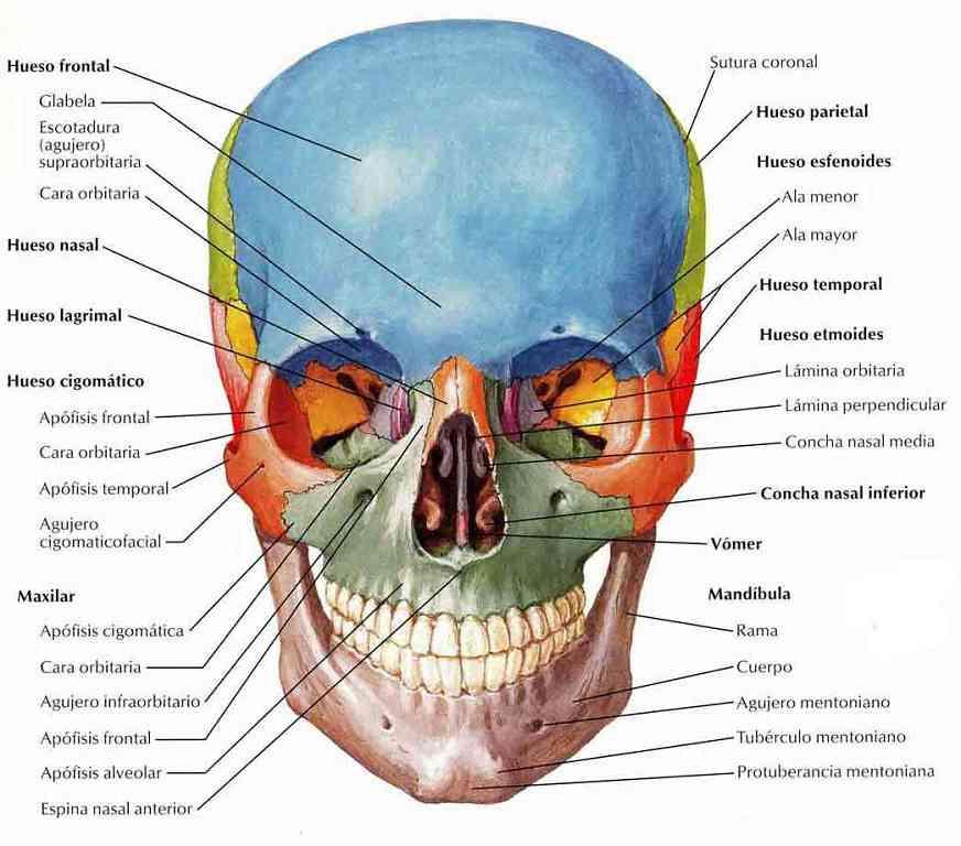 human skull diagram superior 1991 jeep wrangler wiring partes del esqueleto ser humano