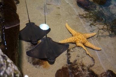 raies aquarium de San Francisco