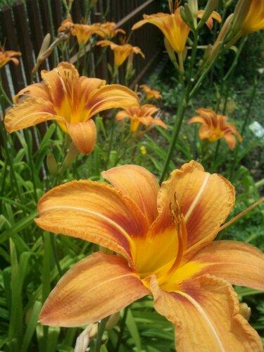 Blumen und blhende Stauden im Juli im Garten  Parzelle94de