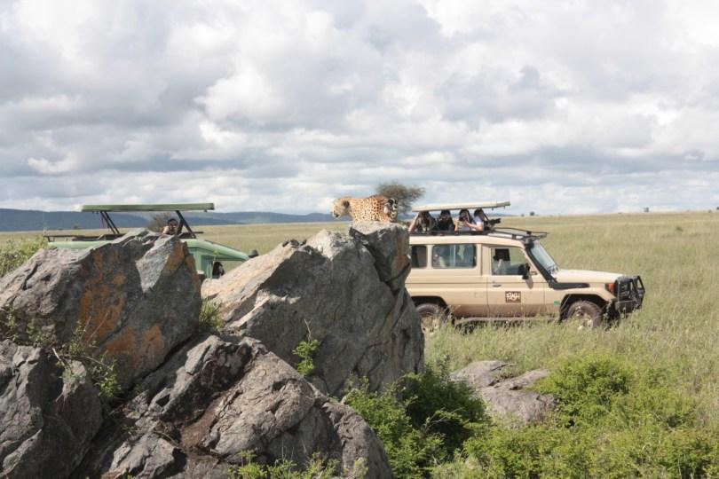 guepardo en soronera