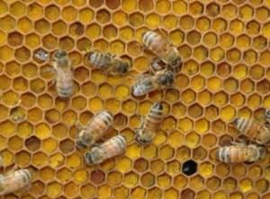 перга бджолина, перга очищена, лікувальні властивості перги2