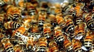 Пчелиный подмор настойка, применение и где купить подмор пчел
