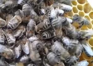 фото бджоли