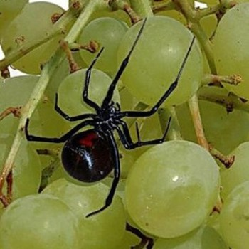 Black widows on grapes
