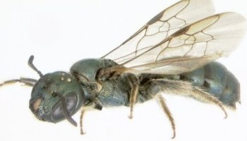 Dinosaurs impact also destroyed bees -  says study