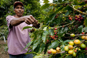 Man inspects coffee berries