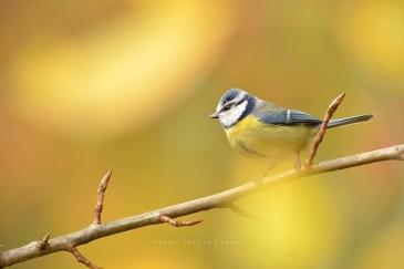 sýkora modřinka / parus caeruleus