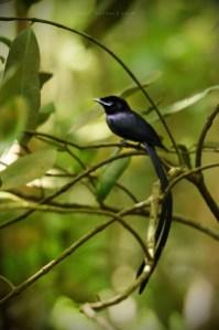 lejskovec seychelský / terpsiphone corvina