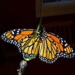 Monarch Butterfly from below