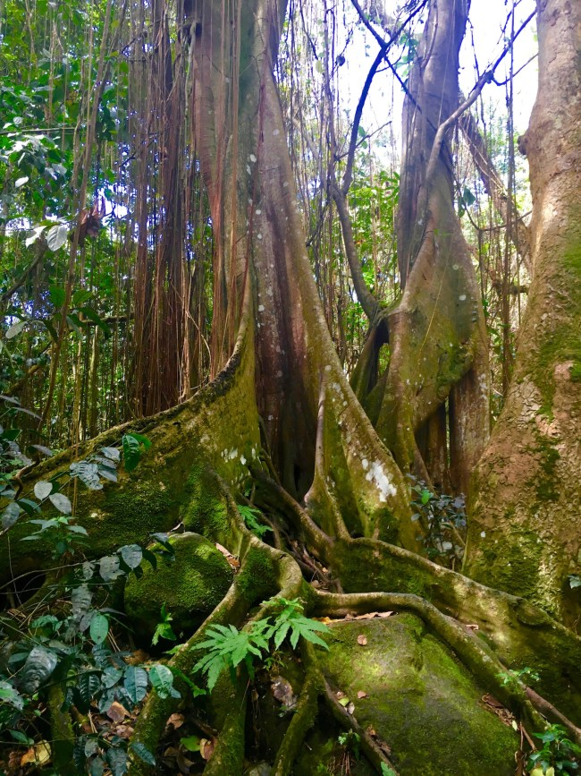 St. Kitts rainforest