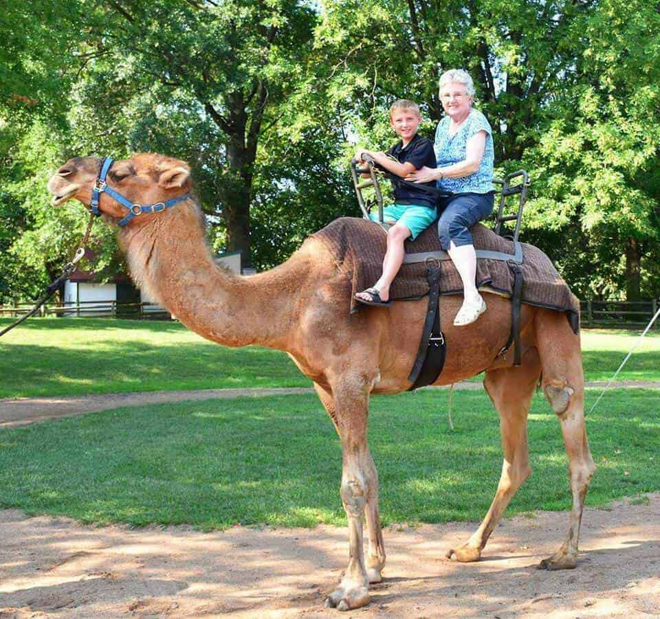 Camel riding at the St. Louis Zoo