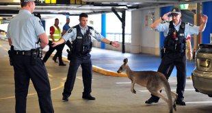 Australie : un kangourou sème la pagaille dans l'aéroport