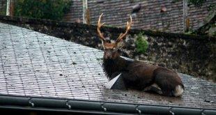 Vidéo : un cerf coincé sur un toit à Verneuil-sur-Indre