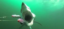 Vidéo : ressentez la terreur d'être chassé par un requin!