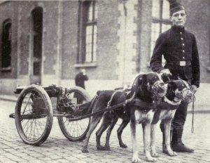 Chiens transporteurs belges.
