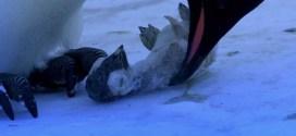 [Vidéo] Une femelle manchot pleure la mort de son petit