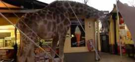 Vidéo : une girafe assoiffée va boire au restaurant