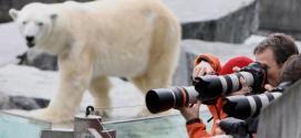 Un ours polaire meurt en avalant le manteau d'un visiteur du zoo