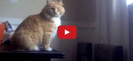Vidéo : Skimbles, le chat le plus maladroit du monde ?
