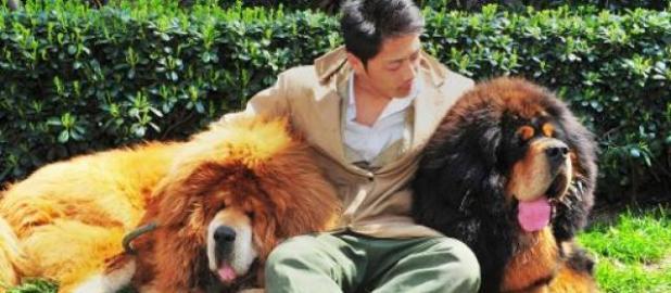 Un homme pose à côté de deux énormes mastiffs tibétains vendus à une foire canine à Hangzhou, dans l'est de la Chine, le 18 mars 2014