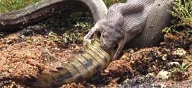 Vidéo : un python avale un crocodile tout entier